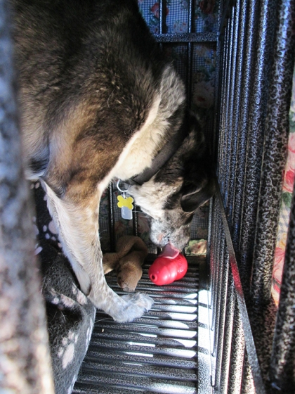 Bongo licking his Kong in his dog jail