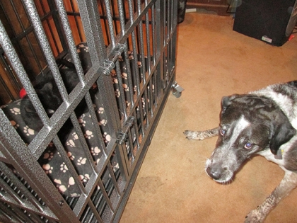 Bongo looking guilty - Scratchy in cage