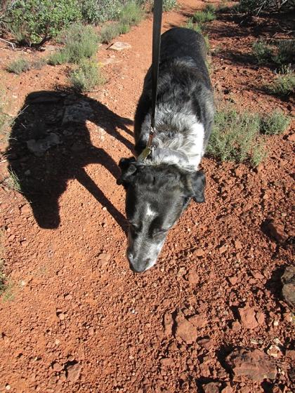 Bongo plodding along on the trail