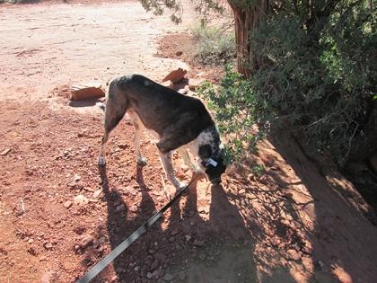 Bongo sniffing a bush