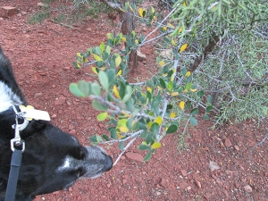 Bongo sniffing a branch with yellow and green leaves