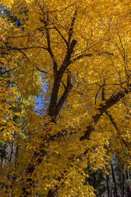 tree of yellow leaves