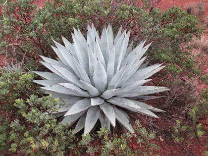 Agave plant surrounded by a manzanita bush