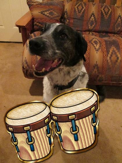 Bongo with bongo drums