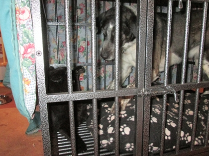 Bongo starting to go after Scratchy in the kennel