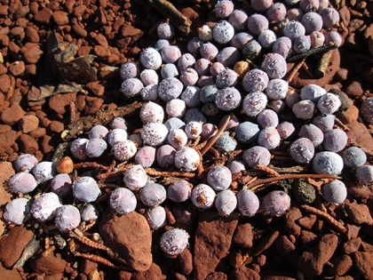Pile of juniper berries on the ground