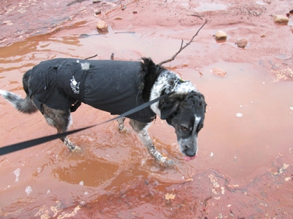 Bongo in a large mud puddle