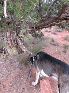 Bongo sniffing the ground under a juniper tree
