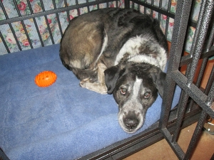 Bongo caught lying in his kennel