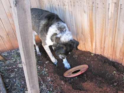Bongo digging with the Frisbee in his hole