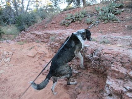 Bongo climbing onto a rock