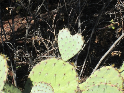 Prickly pear cactus shaped like a heart