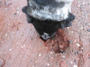 Bongo inspecting a hole