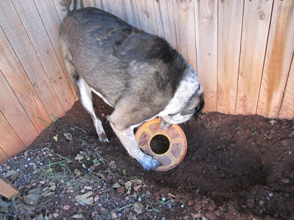 Bongo laying his Frisbee in his hole