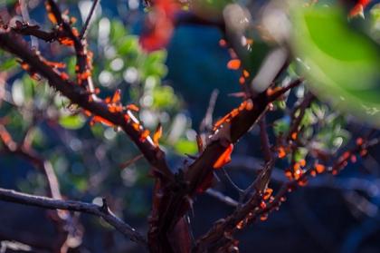 Manzanita bush with sunlight shining through loose bark