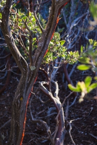 Manzanita bush with sunlight shining through loose bark