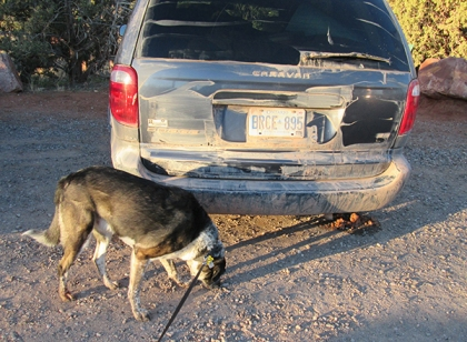 Bongo sniffing near vehicle covered with mud