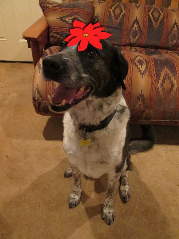 Bongo wearing a poinsettia hat