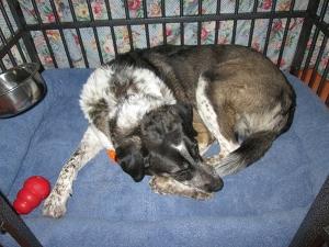 Bongo sleeping in his kennel