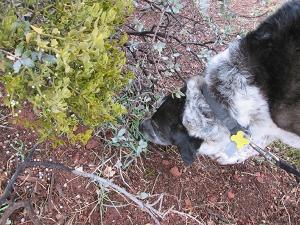 Bongo near some mistletoe on the trail
