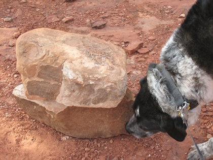 Bongo sniffing a rock