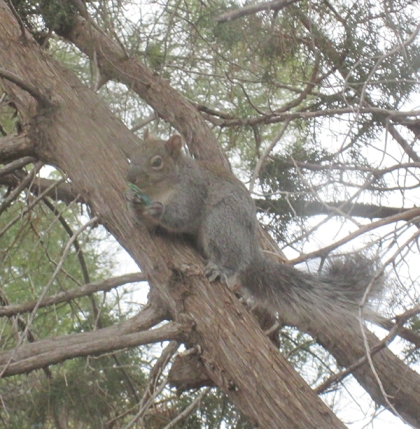 Squirrel in a tree with a Christmas light in his mouth
