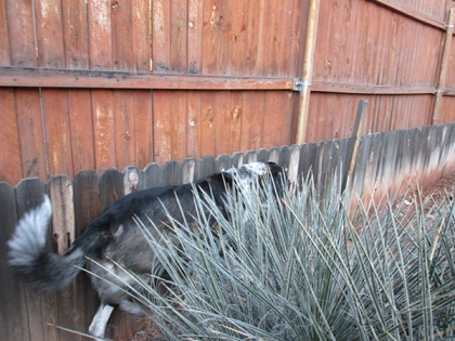 Bongo squeezing between a yucca plant and the fence