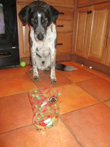 Bongo watching a sack of Christmas cookies on the floor