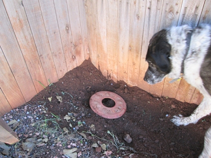 Bongo watching the Frisbee in the hole
