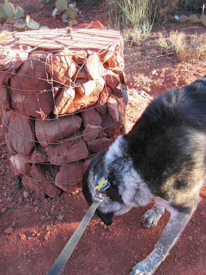 Bongo sniffing trail cairn