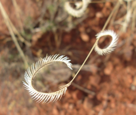 Curly dry grass
