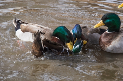 Ducks fighting in the water