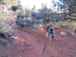 Bongo on the trail with his leash stretched behind him