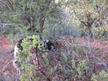 Bongo behind manzanita bushes