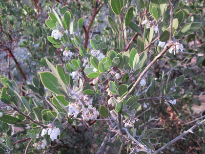 Manzanita bush in bloom