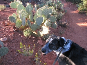 Bongo and prickly pear cactus in the sun
