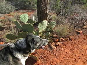 Bongo near a prickly pear cactus