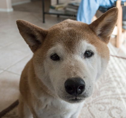 Face of Shiba Inu