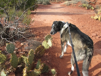 Bongo sniffing a prickly pear cactus