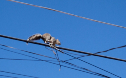 Squirrel running down a wire