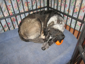 Bongo curled up in his kennel