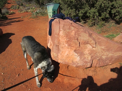 Bongo sniffing the bottom of a big rock