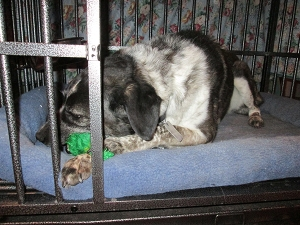 Bongo in his kennel chewing on his frog