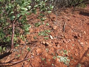 Manzanita bush with leaves on the ground