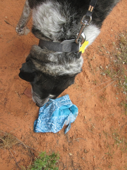 Bongo sniffing a bandana on the ground