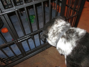 Bongo looking at toy frog in dog jail