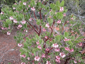 Manzanita bush blooming