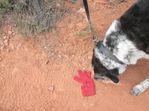 Bongo sniffing a red glove on the ground