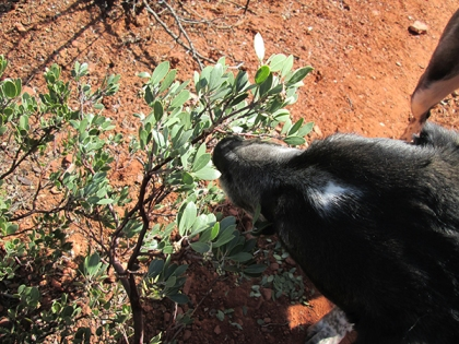 Bongo sniffing the manzanita bush