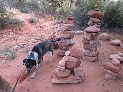 Bongo digging near the rock piles